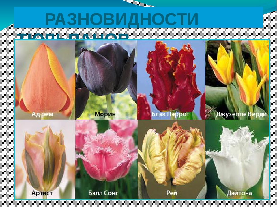 Тюльпаны виды и сорта с фото