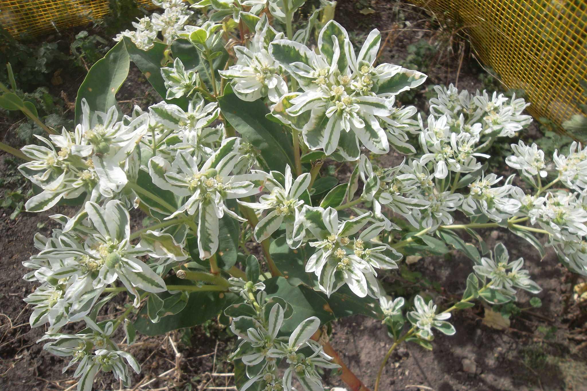 Фото крымский цветок богатая невеста садовый