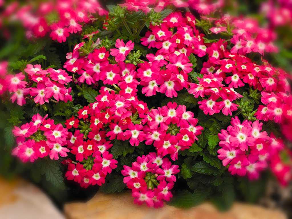 популярные садовые цветы фото с названиями заезжая гости, такси