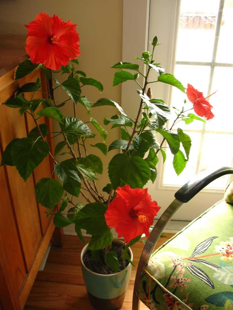 керчи, домашняя роза уход в домашних условиях фото тож