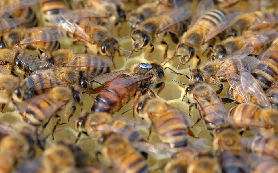 Для матку картинка пчела