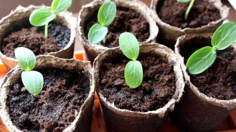 нужно ли замачивать семена помидоров перед посевом