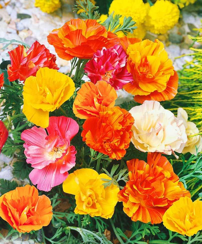 был первый эшшольция махровая фото цветы комментариях