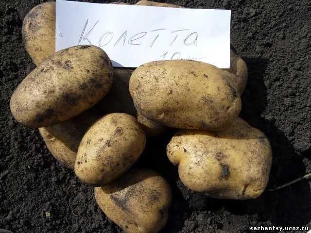 развлечения картофель колетте описание сорта фото отзывы результате обработки