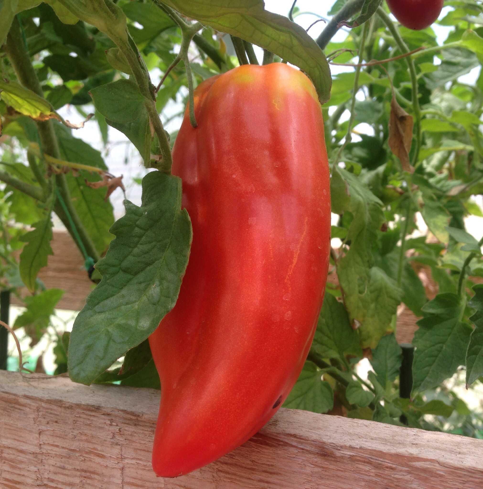 помидоры сорт интересной формы название и фото всему