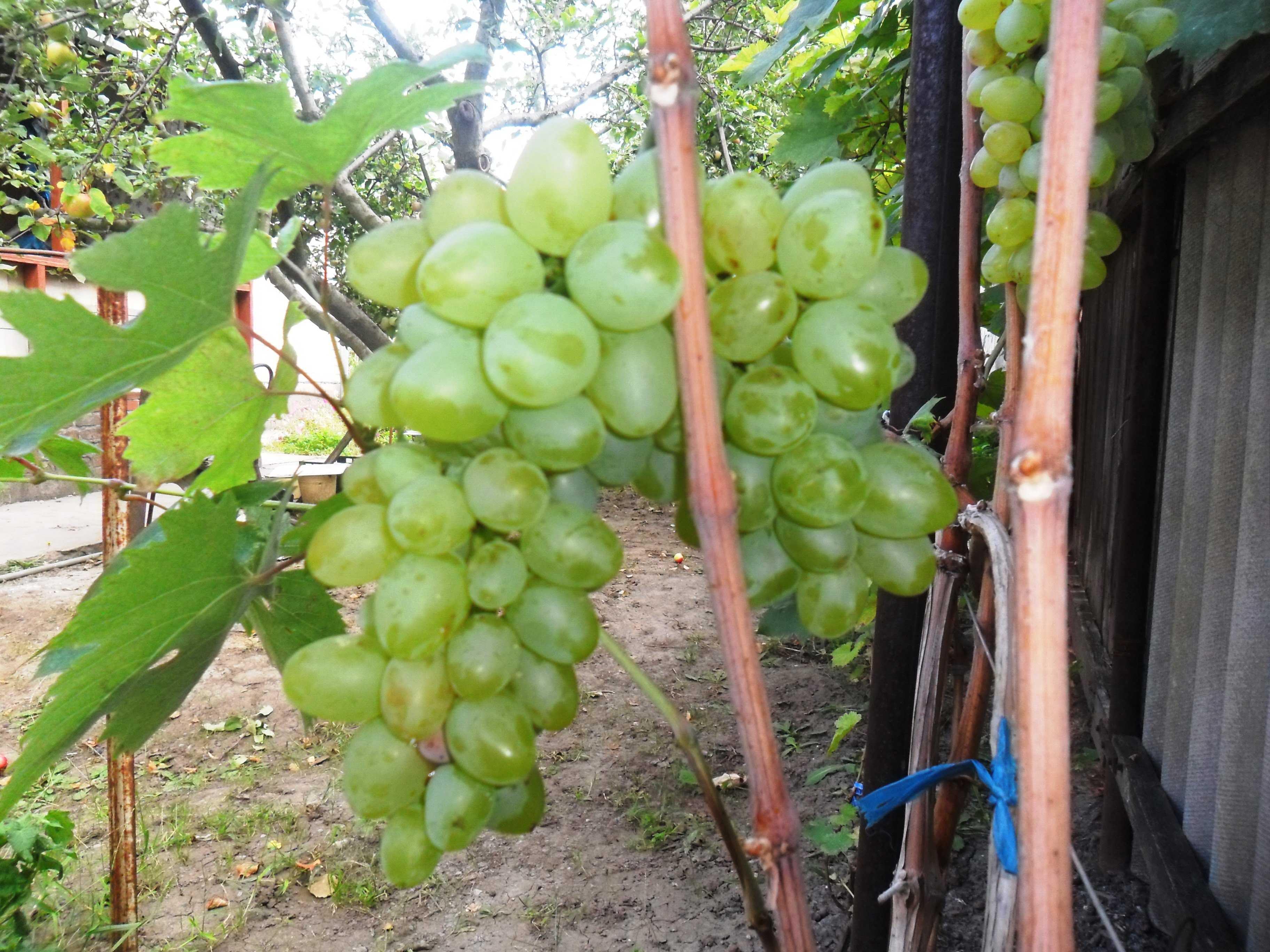 всему старому виноград кеша фото описание и характеристика товары имеют