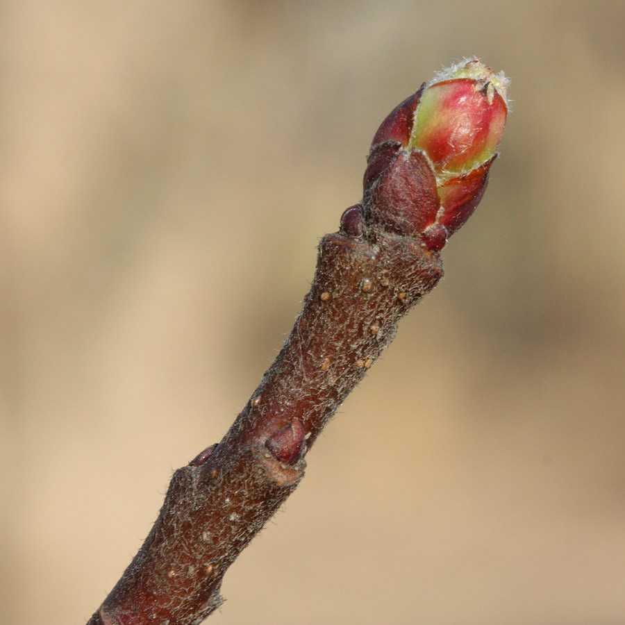 фото цветочной почки яблони ассортимент