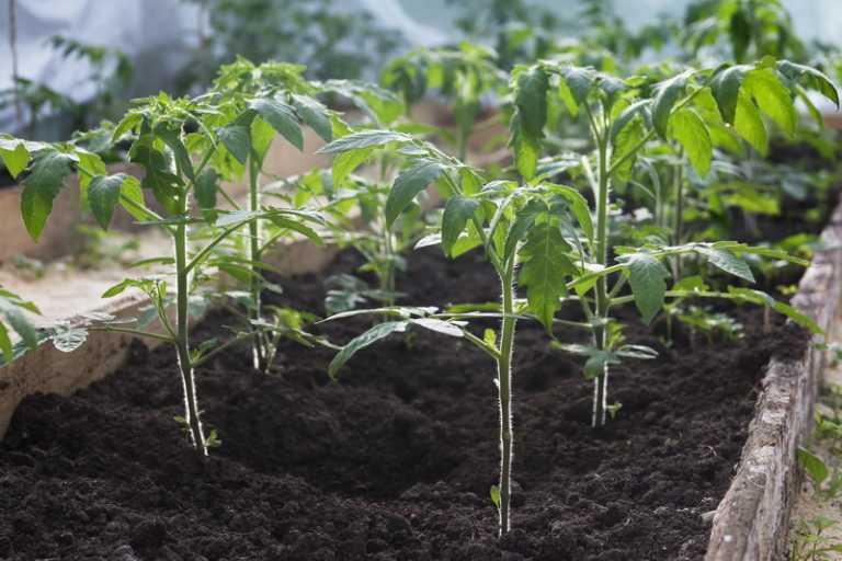Технология китайского способа выращивания рассады томатов