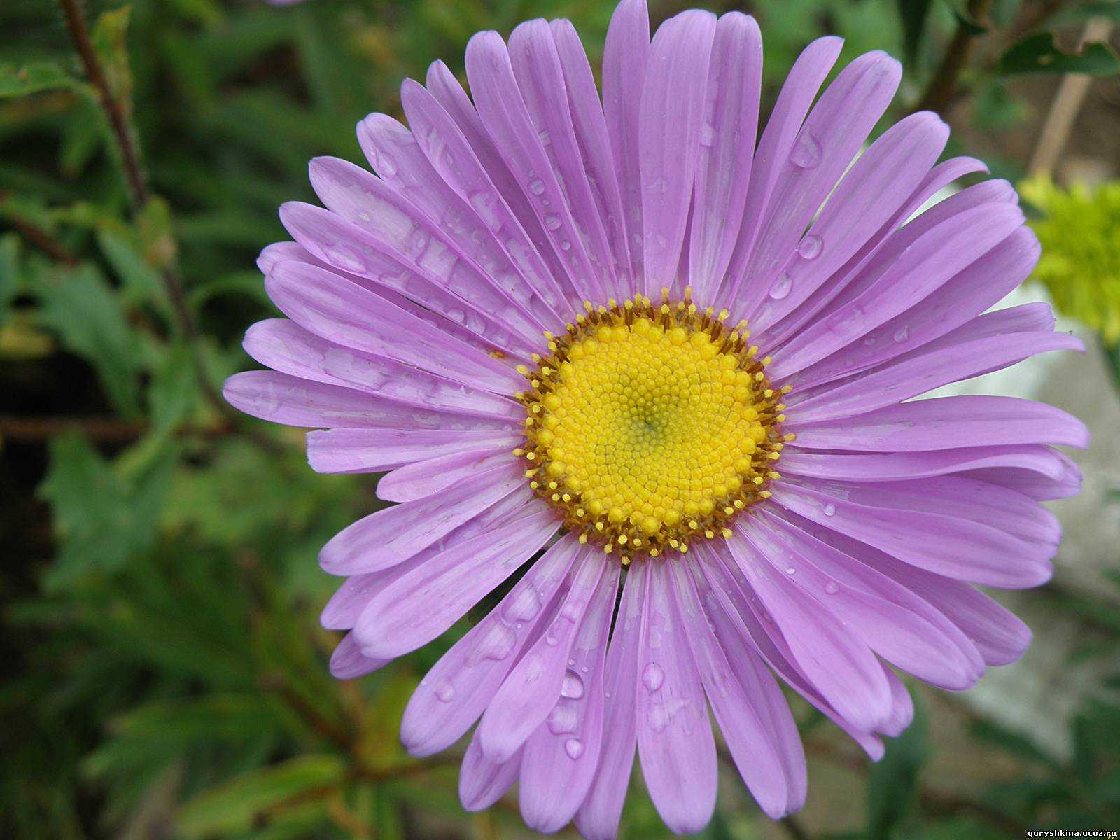 Редкие садовые цветы фото и названия