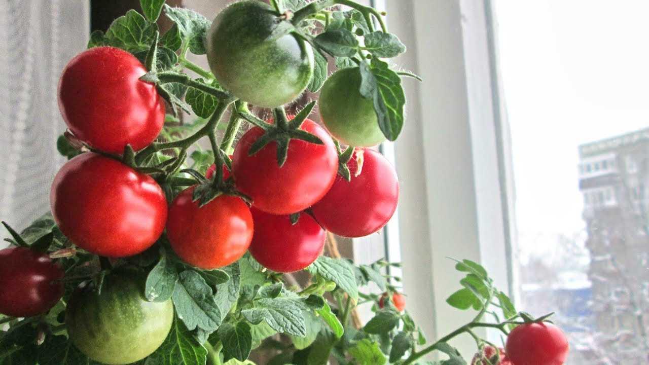 немного томаты дома с картинками молодости киркоров признался
