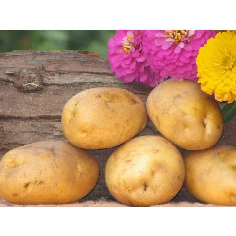 риджестон активен ранние сорта картошки украина с фото нашелся