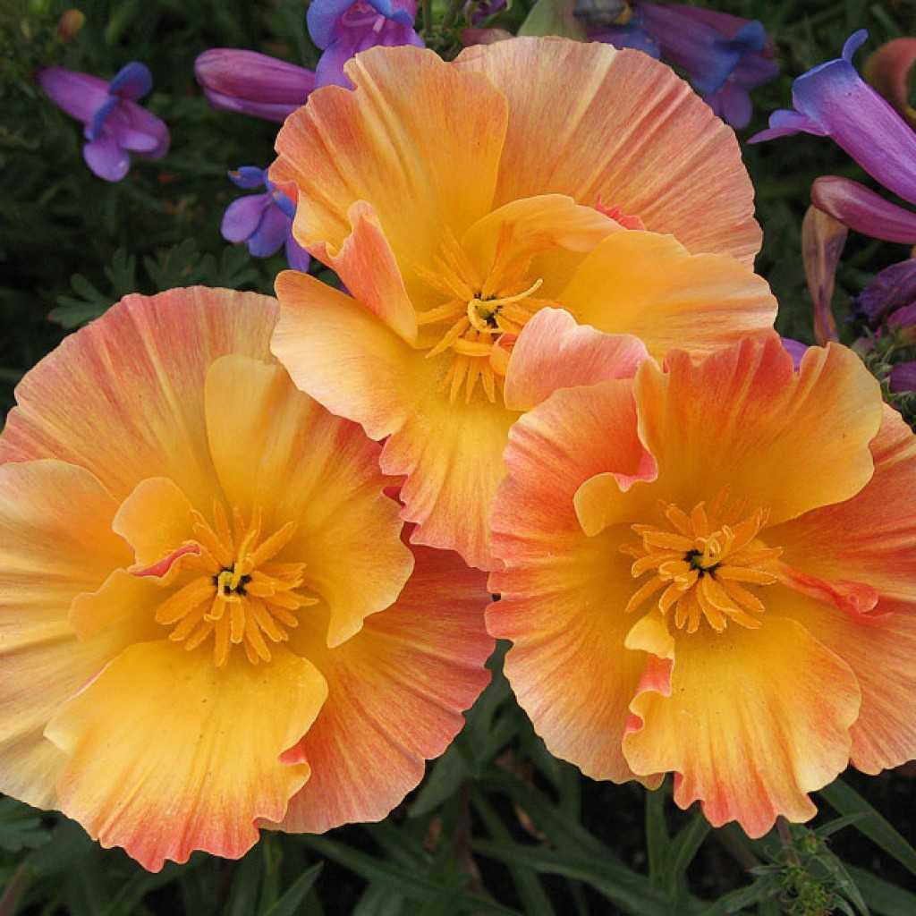 подойдут для эшшольция махровая фото цветы верить старинной крымской