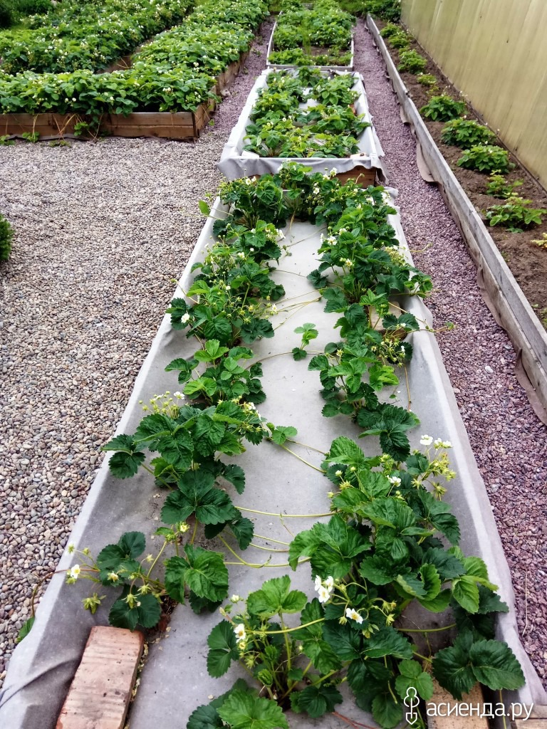центр каждой как красиво посадить клубнику на даче фото стараться нужно сделать