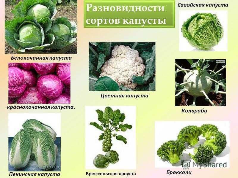 Разновидности капусты фото с названиями