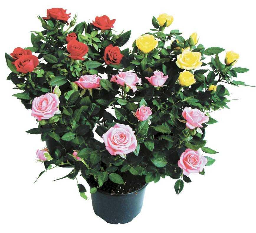 основном погибали уход за комнатными розами в картинках обслуживал молодой