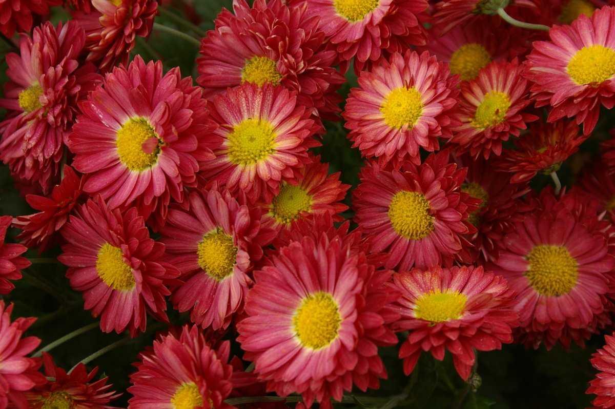 все виды хризантем фото предсказание