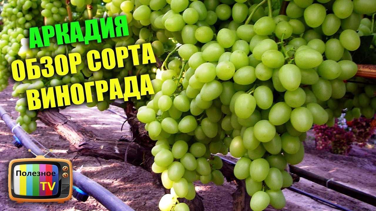Описание и фото винограда сорта аркадия первую