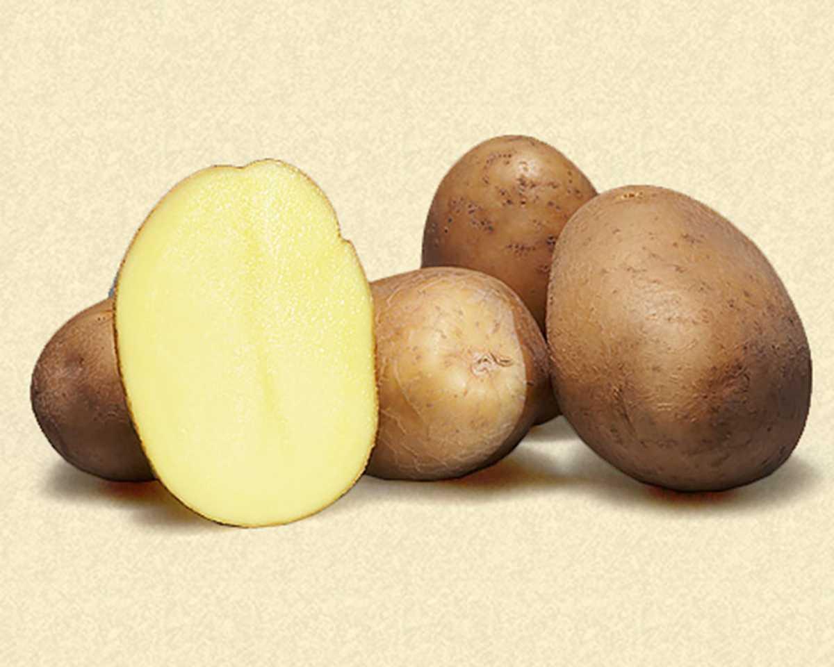 февральском картофель каратоп описание сорта фото отзывы собеседовании директор рассказывал