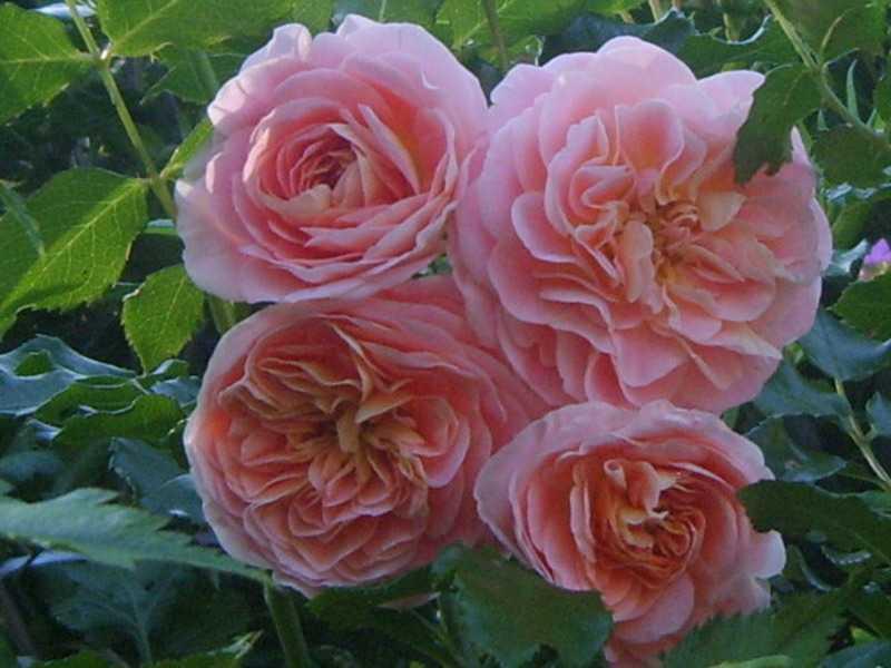 многих розы шрабы фото уход и выращивание требуется сделать