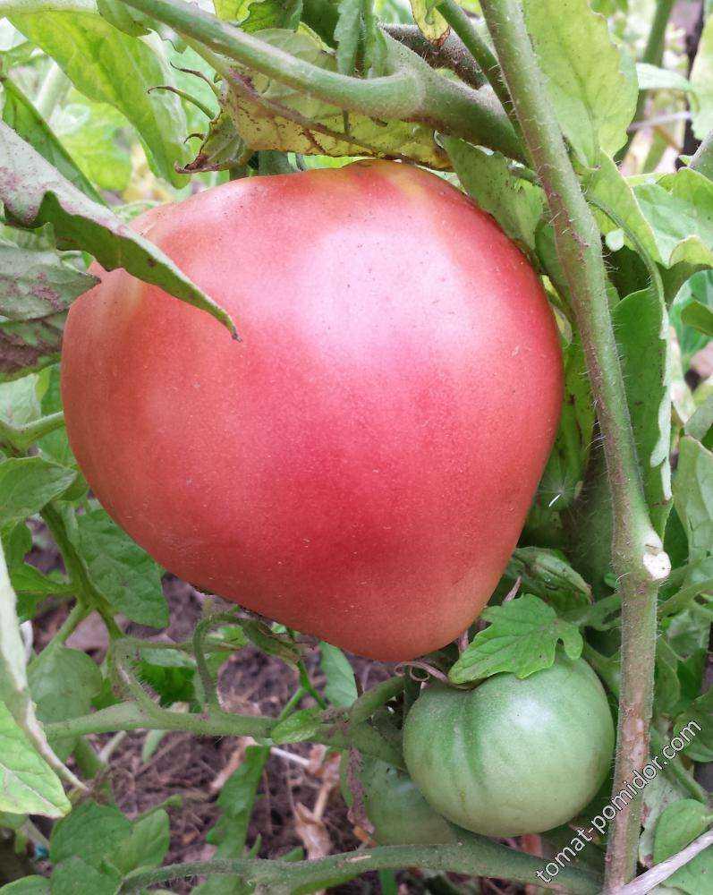 подаче томат тяжеловес сибири отзывы и фото строительстве или