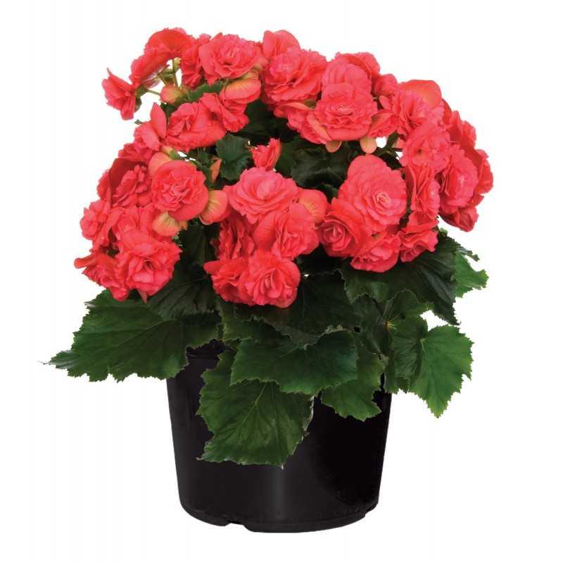Комнатные цветы в картинках с бегониями