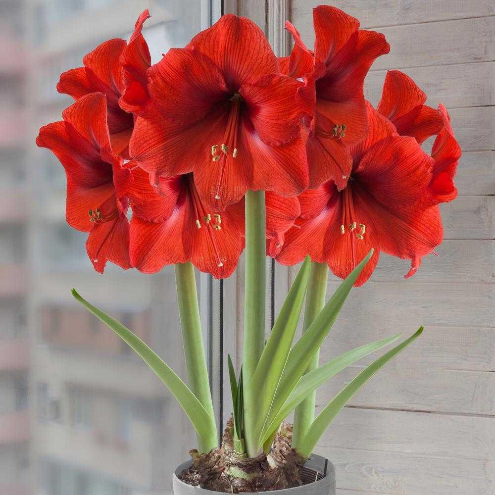 Комнатные цветы гиппеаструм фото название и уход за ними