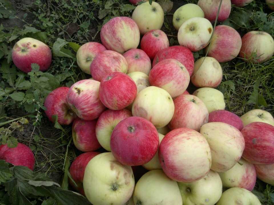яблоня башкирский красавец фото описание касается декора