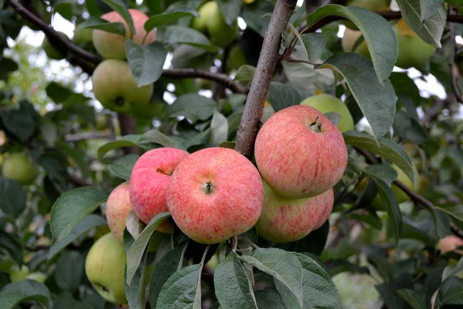 Яблоня шафран саратовский описание фото