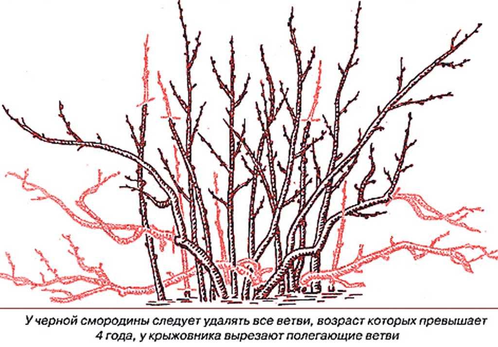обрезка красной смородины весной для начинающих в картинках пошагово система пожарной