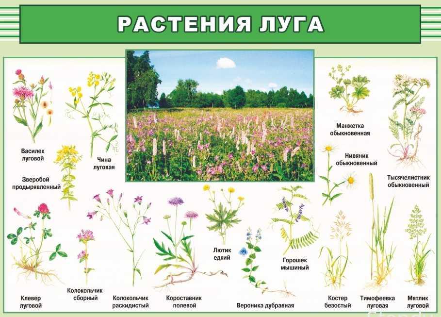 Полевые луговые лесные цветы в картинках ядовитые