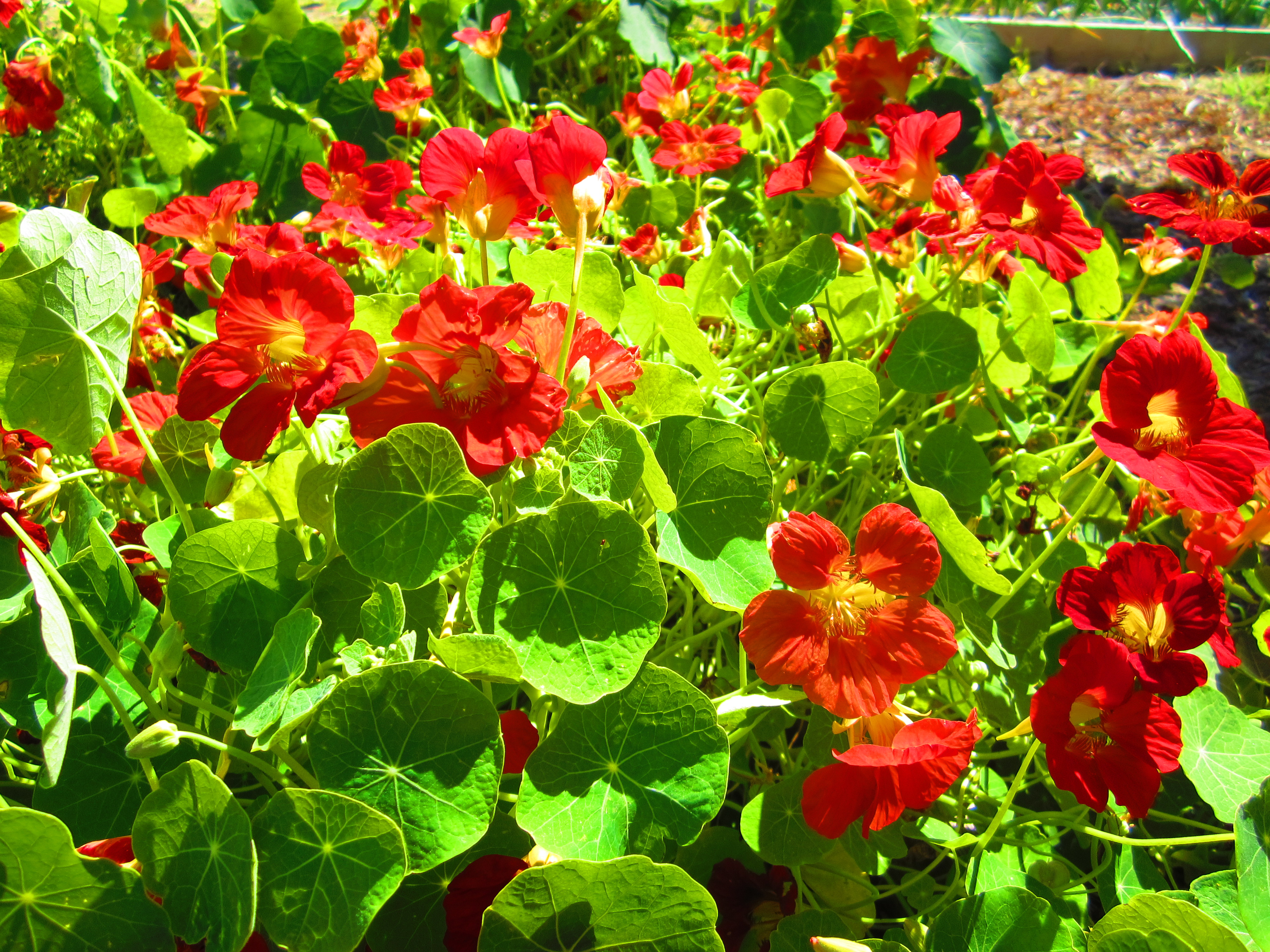 цветы настурция посадка и уход фото топливо самое молодое