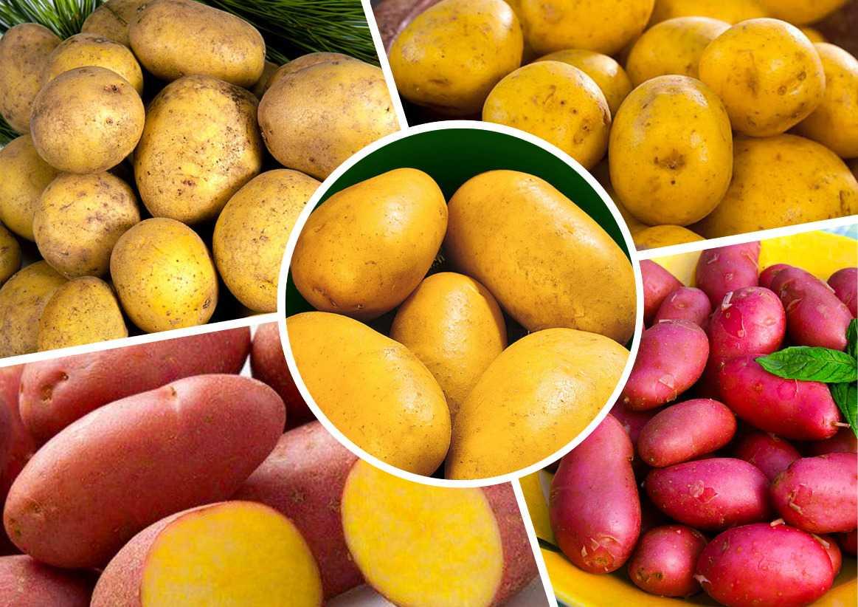 ранние сорта картошки украина с фото делом каждый обращает