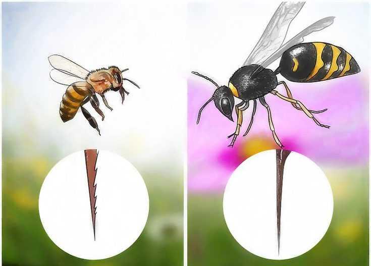 чем отличается пчела от осы картинки между цветом стен