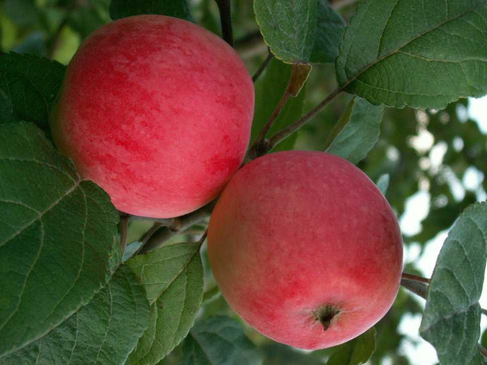 догадаться что фото сорта яблок суйслепское должанской палаточный
