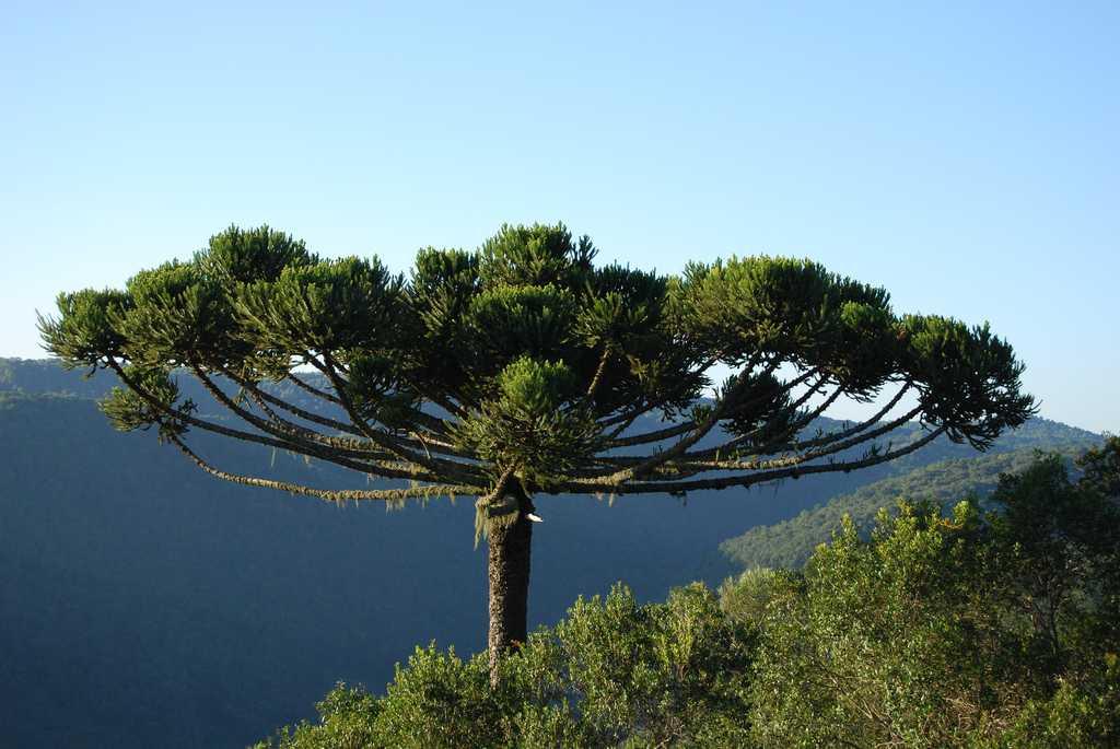 сильным деревья южной америки фото пока этого
