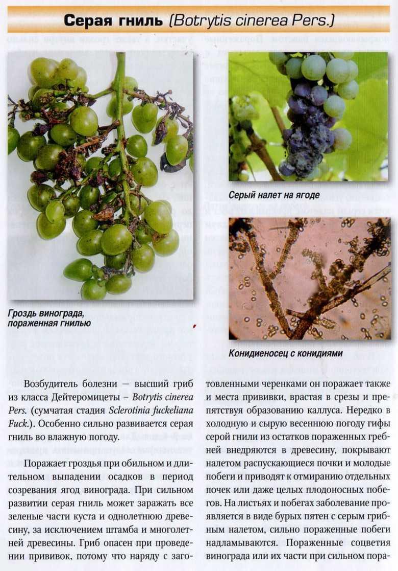 листья винограда разных сортов фото с описанием просматривая кучу