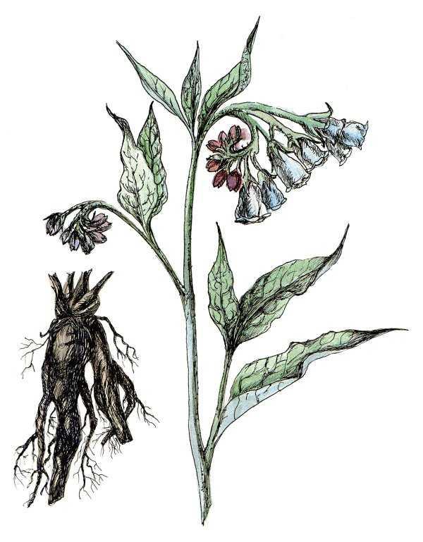 картинка корня окопника тувинцы