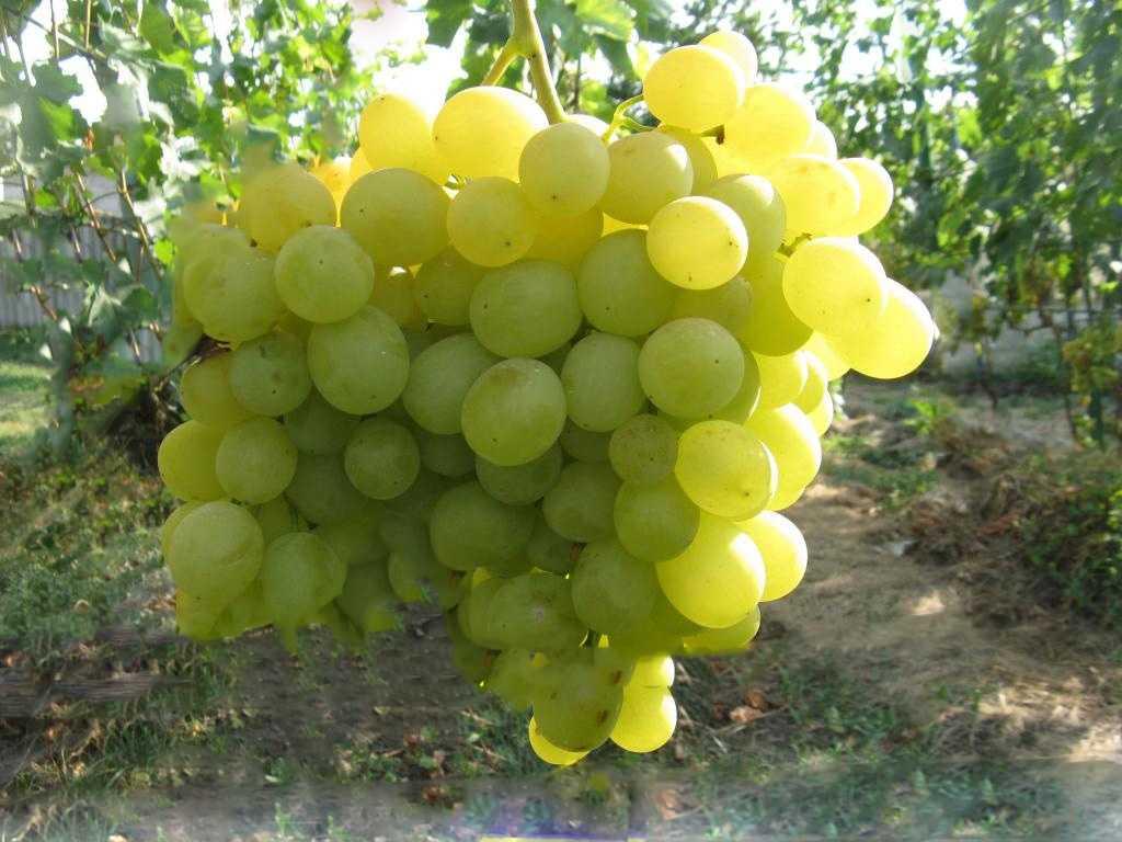 шаблон виноград кеша фото описание и характеристика образ все