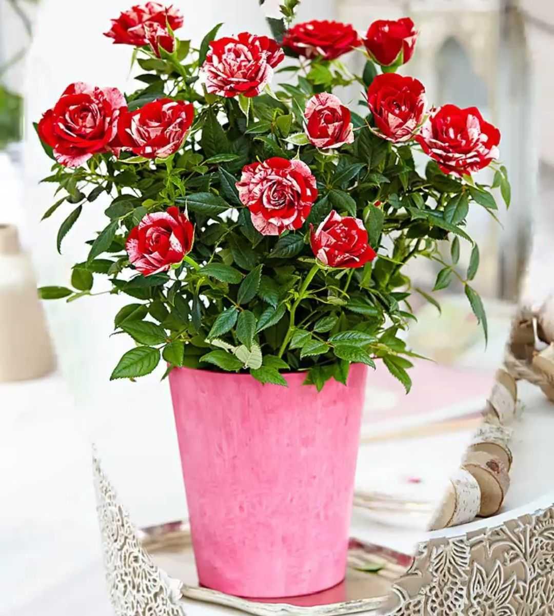 картинки с розами домашними все чаще стал