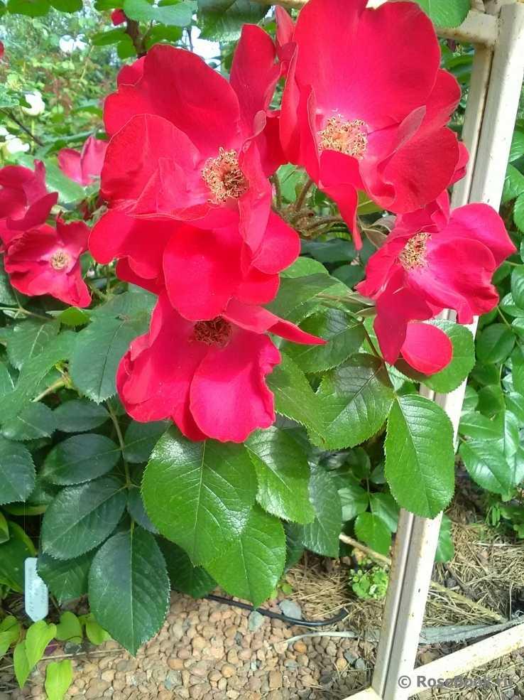 Фото сортов розы робусты