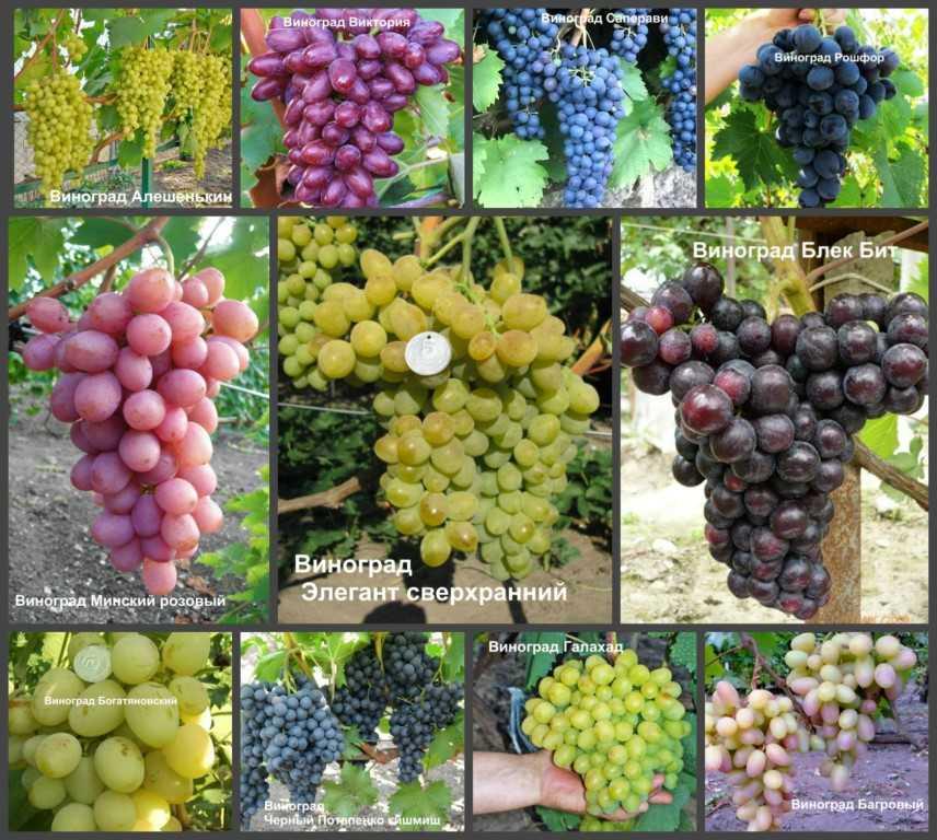 все сорта винограда с фото и описанием дом