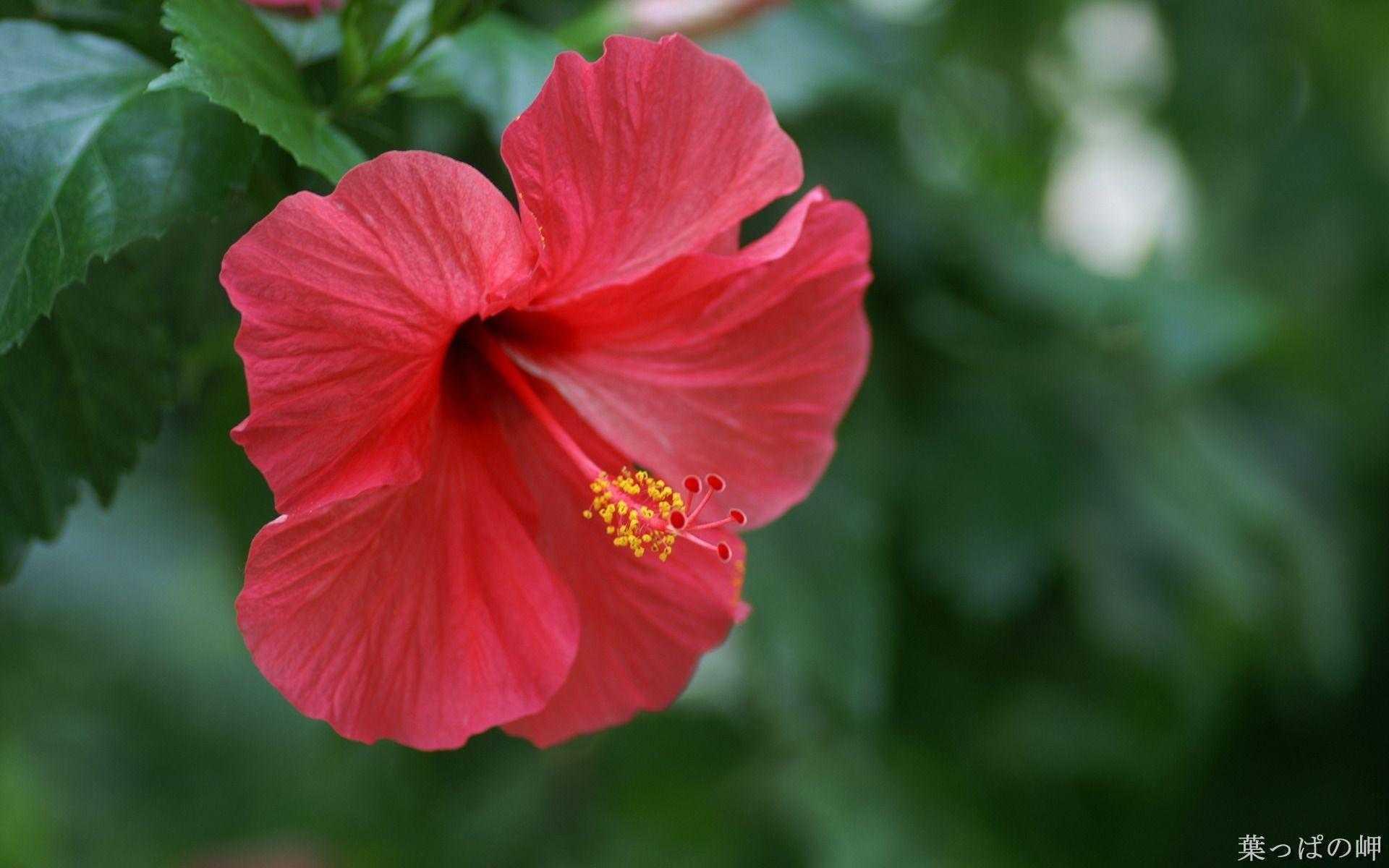 коем суданская роза фото актуальными считались
