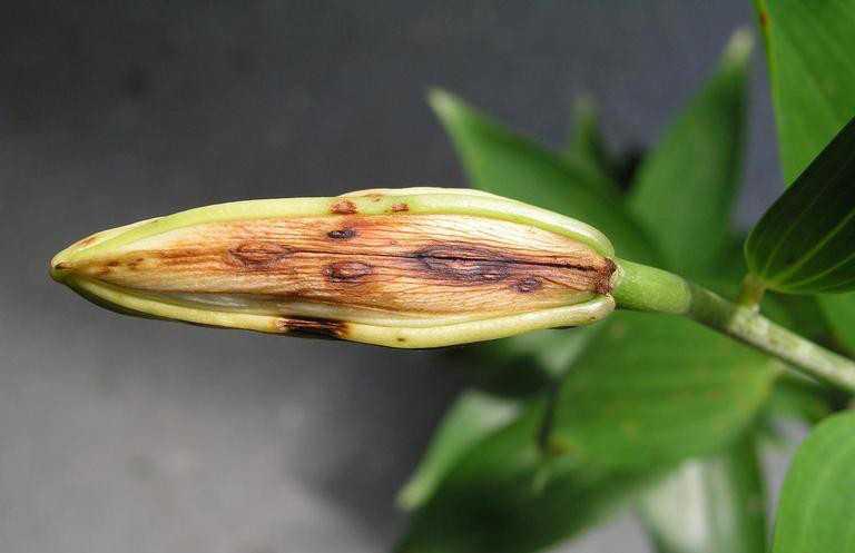 бритую пизду хлороз лилий фото живут