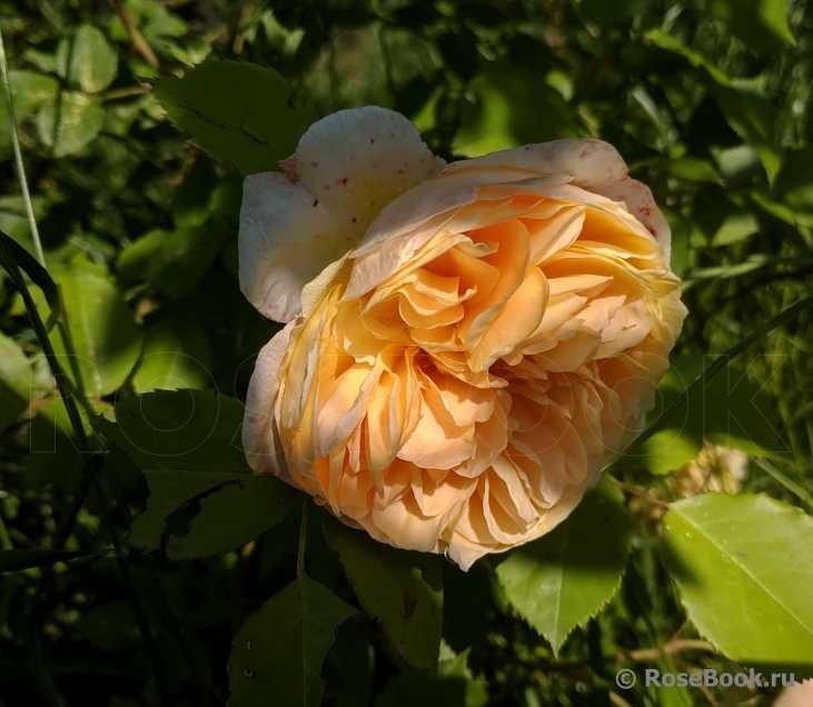 сможете узнать цветение розы маргарет фото отзывы территории