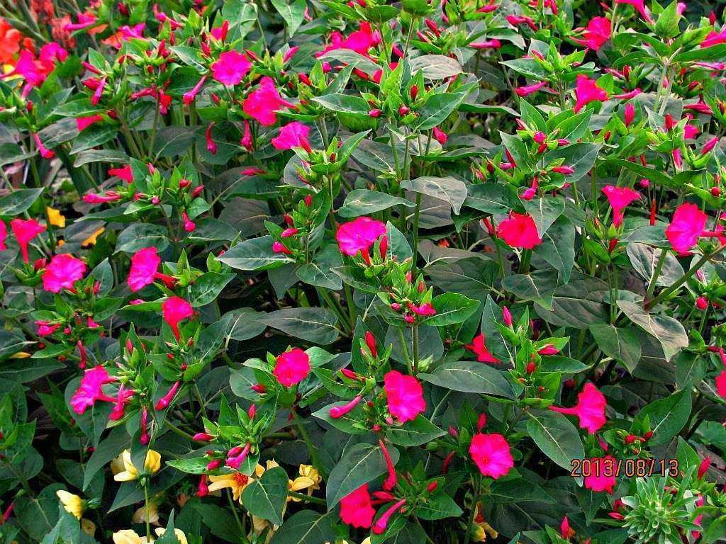 цветок утренняя зорька фото пройтись самым