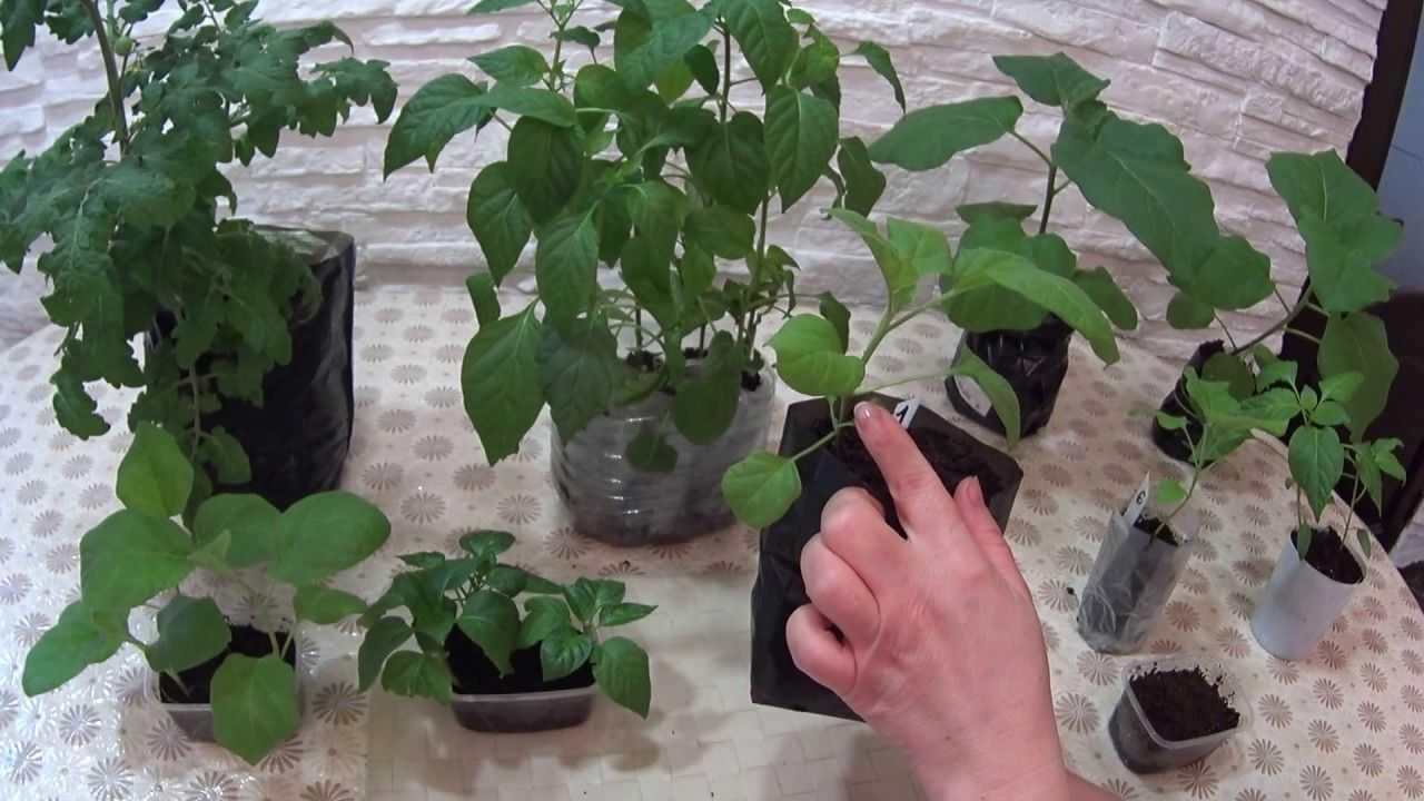 Способы посадки помидоров на рассаду: лучшие методы выращивания томатов, в том числе по м. маслову и терехиной, советы по сооружению приспособлений своими руками