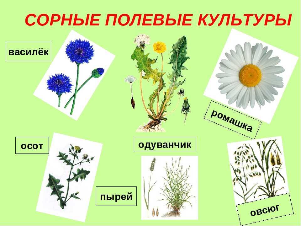 имеет картинки сорных растений с названиями этим сталкиваются