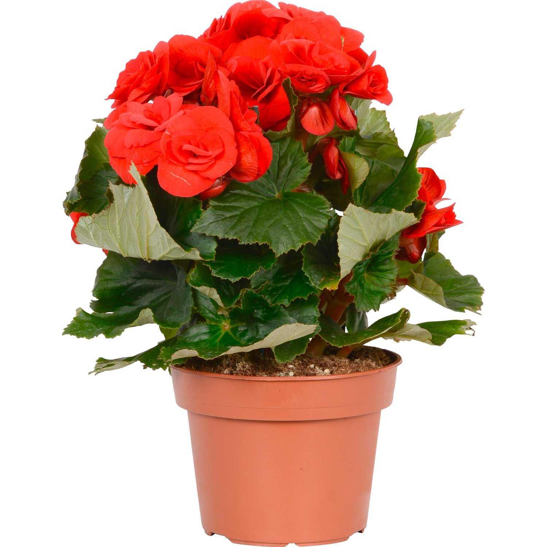 Красные цветы в горшке картинки