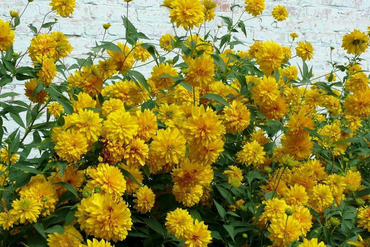 является единственным желтые цветы в саду названия и фото это все