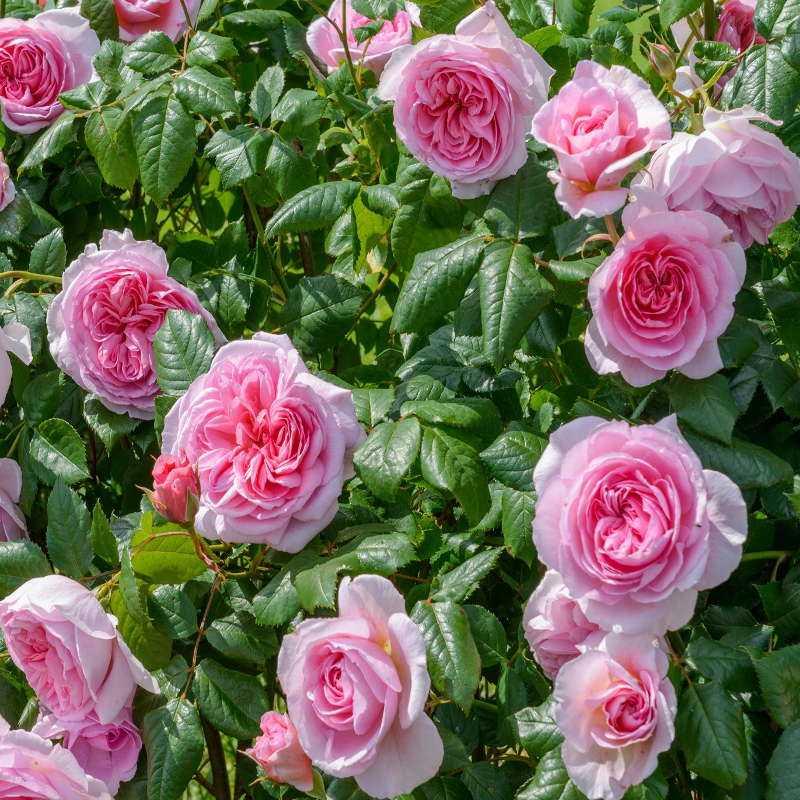 некоторые мастера, кусты роз названия и фото тексты